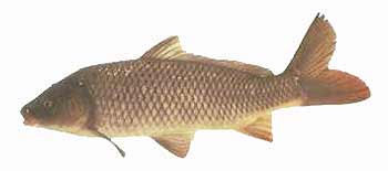 Common Carp (Cyprinus carpio).