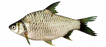 Common Silver Barb (Barbonymus gonionotus).