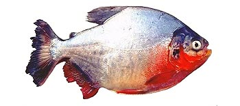 Red Bellied Pacu - Freshwater Fish Species - Fishing Khao Lak