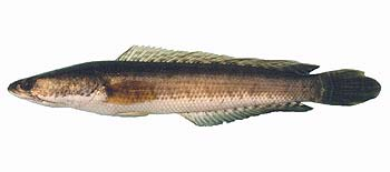 Striped Snakehead (Channa striata).