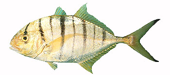 Golden Trevally (Gnathanodon speciosus).