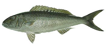 Green Jobfish (Aprion virescens).
