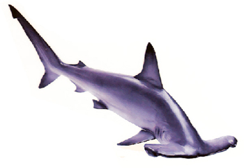 Hammerhead Shark (Sphyrna species).