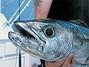 Dogtooth Tuna from the Similan Islands.